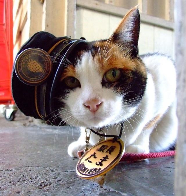"""Tama: Từ con mèo hoang đến """"trưởng ga tàu"""" nổi tiếng nhất cả nước, biểu tượng văn hóa đáng tự hào của Nhật Bản - Ảnh 3."""