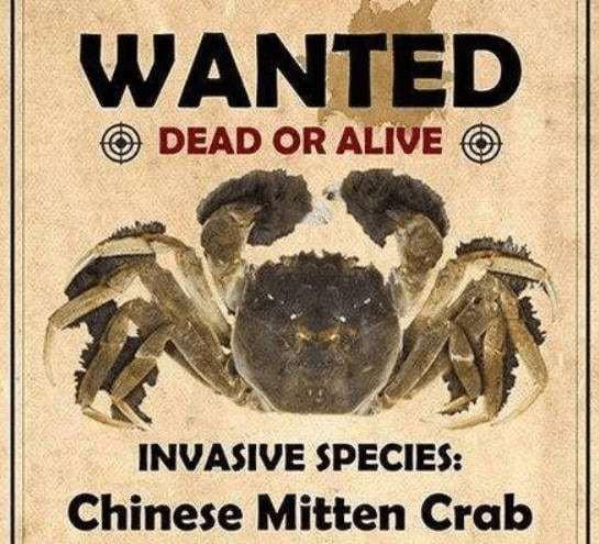 Dân mạng Trung Quốc tình nguyện ăn bớt cua xâm lấn để cứu hệ sinh thái Mỹ - Ảnh 3.