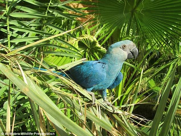 Đau lòng: Giống vẹt xanh đuôi dài làm nguồn cảm hứng cho bộ phim Rio đã chính thức bị tuyệt chủng ngoài thiên nhiên - Ảnh 1.