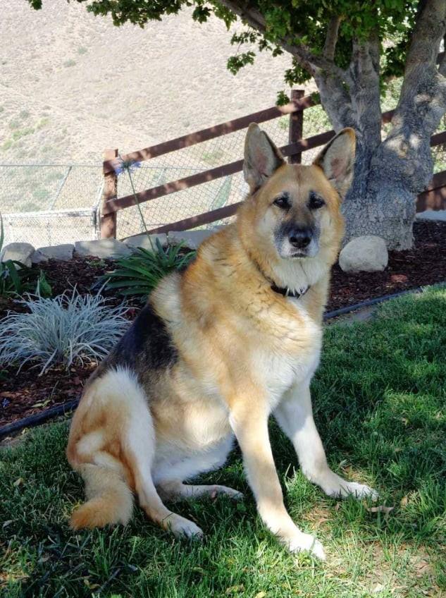 Abbey, cô chó thông minh trong I Am Legend của Will Smith giờ đã 13 tuổi, không nghe thấy gì nhưng vẫn hiếu động - Ảnh 4.