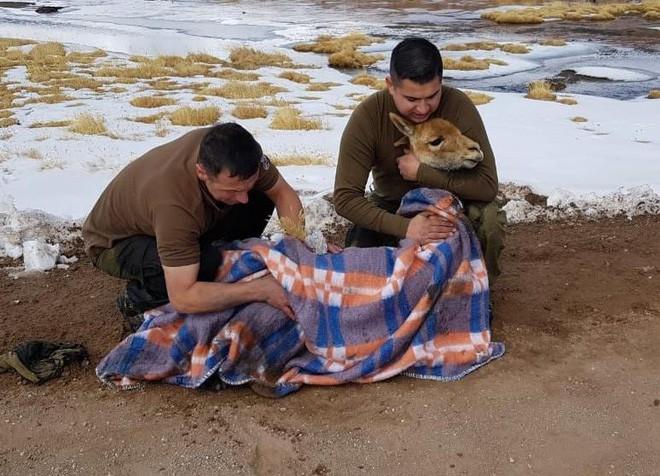 Ít ai ngờ chú lạc đà xinh xẻo này lại là nguồn gốc của loại vải sợi quý hiếm nhất thế giới - Ảnh 5.