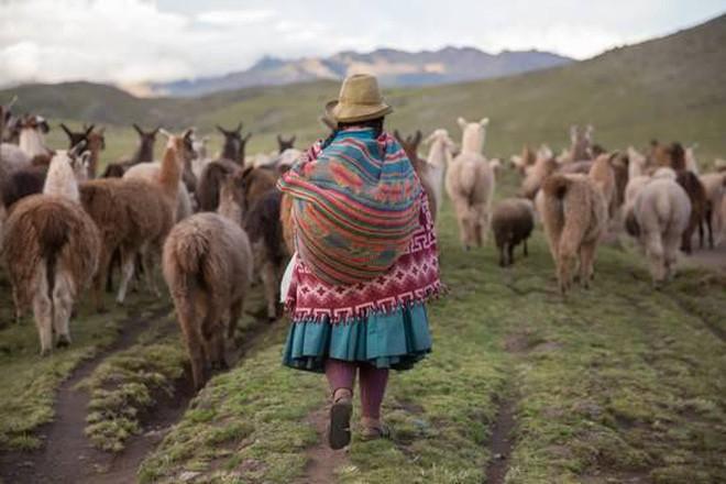 Ít ai ngờ chú lạc đà xinh xẻo này lại là nguồn gốc của loại vải sợi quý hiếm nhất thế giới - Ảnh 8.