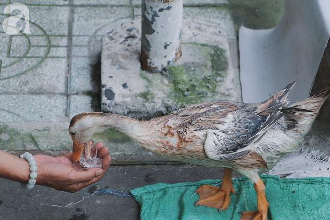 Câu chuyện kỳ lạ về tình mẫu tử của người phụ nữ bán trái cây và chú vịt biết làm nũng ở Sài Gòn - Ảnh 15.