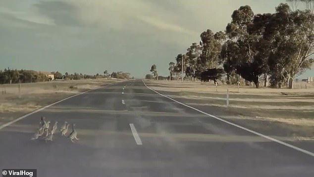 Xe Tesla đang chạy 100 km/h, chế độ tự lái Autopilot vẫn phanh kịp để cứu mạng đại gia đình vịt - Ảnh 1.