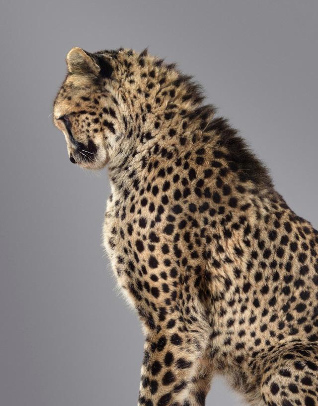 Nhiếp ảnh gia có 'siêu năng lực': Bắt cả bầy hổ báo ngoan ngoãn tạo dáng để chụp ảnh, mắt nhìn thẳng ống kính, thần thái cực đỉnh - Ảnh 2.