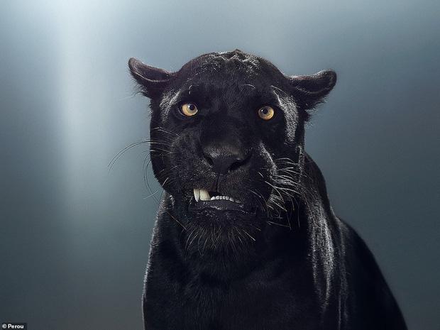 Nhiếp ảnh gia có 'siêu năng lực': Bắt cả bầy hổ báo ngoan ngoãn tạo dáng để chụp ảnh, mắt nhìn thẳng ống kính, thần thái cực đỉnh - Ảnh 5.