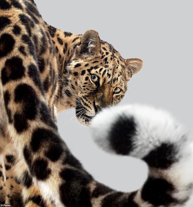 Nhiếp ảnh gia có 'siêu năng lực': Bắt cả bầy hổ báo ngoan ngoãn tạo dáng để chụp ảnh, mắt nhìn thẳng ống kính, thần thái cực đỉnh - Ảnh 7.