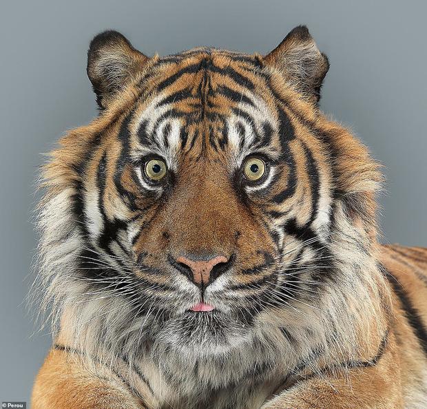 Nhiếp ảnh gia có 'siêu năng lực': Bắt cả bầy hổ báo ngoan ngoãn tạo dáng để chụp ảnh, mắt nhìn thẳng ống kính, thần thái cực đỉnh - Ảnh 8.