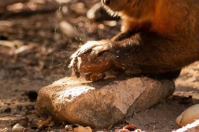 Khỉ Capuchin đã âm thầm bước vào thời kỳ đồ đá, chúng sẽ thay thế con người để thống trị trái đất? - Ảnh 2.