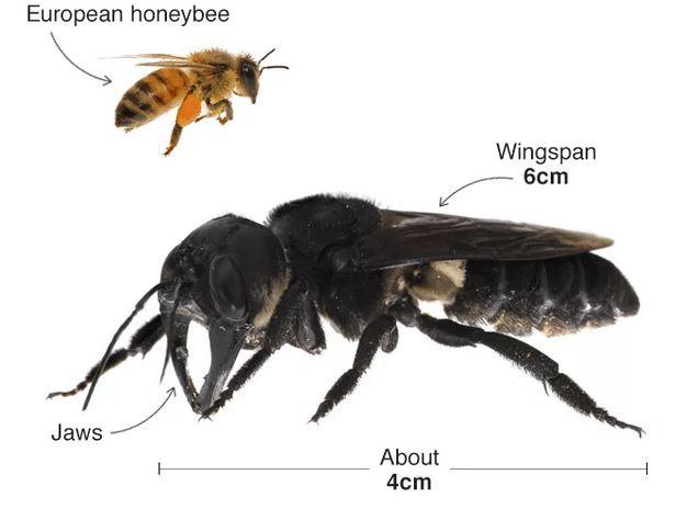 Tưởng đã tuyệt chủng cách đây 40 năm, loài ong lớn nhất thế giới bất ngờ được tìm thấy tại Indonesia - Ảnh 1.