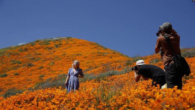 Xót xa đồi hoa California khổng lồ cực hiếm bị phá hoại chỉ vì làn sóng Instagram thích sống ảo - Ảnh 4.