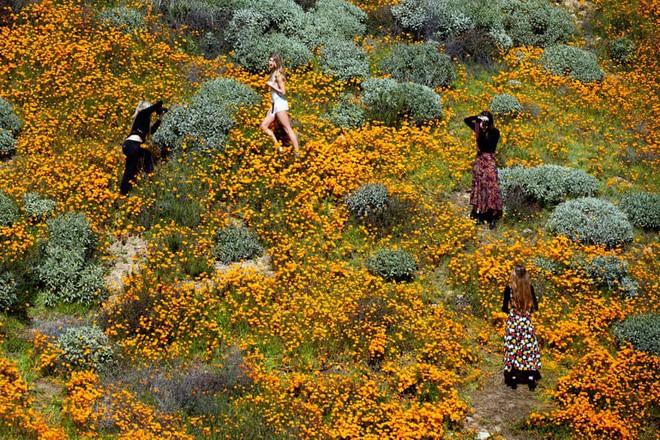 Xót xa đồi hoa California khổng lồ cực hiếm bị phá hoại chỉ vì làn sóng Instagram thích sống ảo - Ảnh 7.