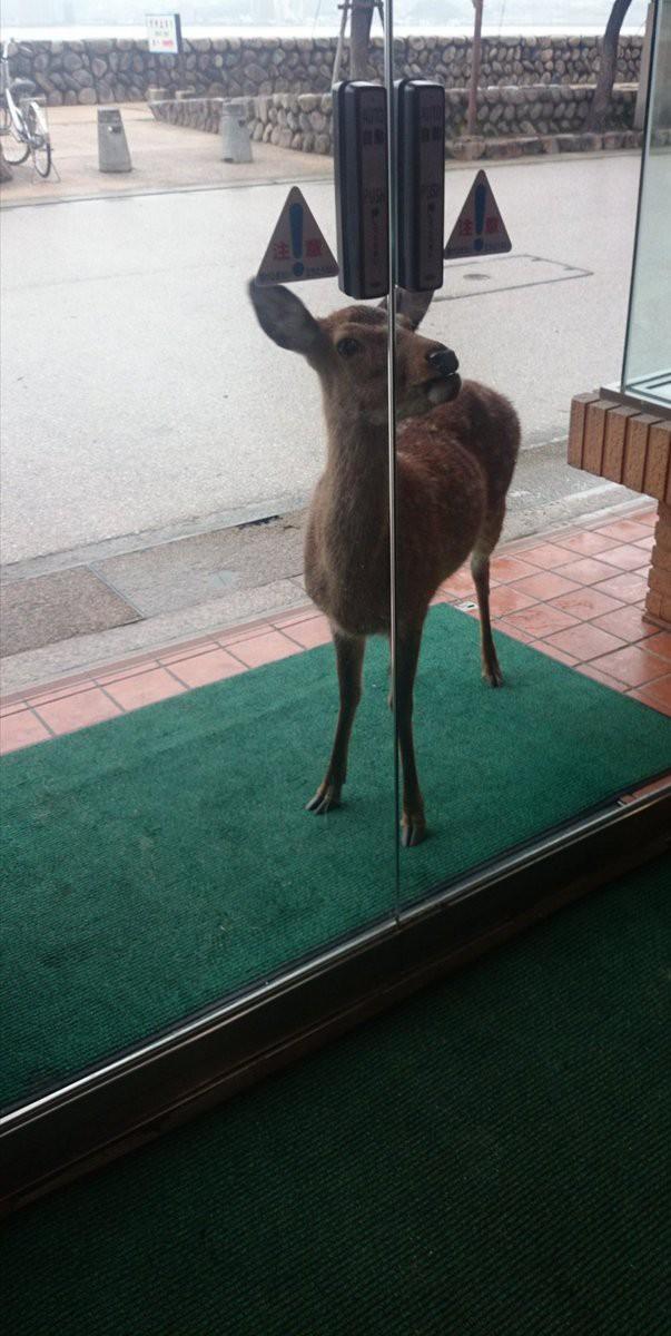 Hiện tượng hươu xin đểu tràn lan tại Nhật Bản vô tình giúp quảng bá du lịch nước này - Ảnh 2.