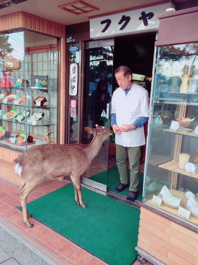 Hiện tượng hươu xin đểu tràn lan tại Nhật Bản vô tình giúp quảng bá du lịch nước này - Ảnh 6.
