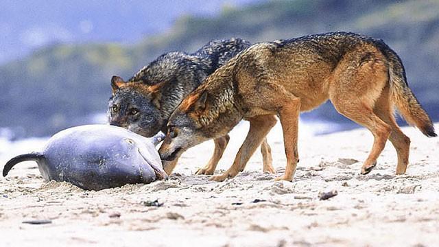 Gặp gỡ loài sói hiếm biết bơi và thích ăn hải sản - Ảnh 5.