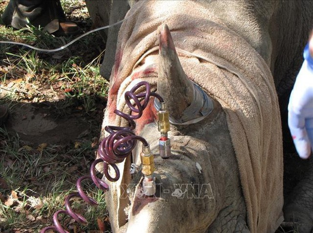 Tiêm thuốc độc vào sừng để... cứu 700 con tê giác - Ảnh 1.