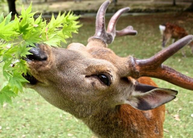 Hươu Nara nổi tiếng Nhật Bản chết đói vì ăn phải 3,2kg rác nhựa - Ảnh 2.