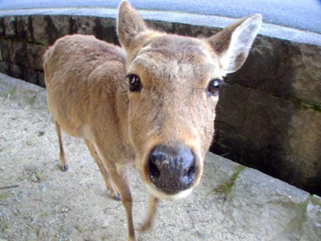 Hươu Nara nổi tiếng Nhật Bản chết đói vì ăn phải 3,2kg rác nhựa - Ảnh 4.