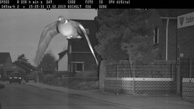 Bay vèo qua camera bắn tốc độ, chim bồ câu Đức bị phạt nguội 650.000 đồng - Ảnh 1.