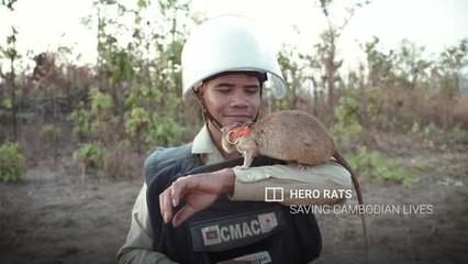 Chuyện lạ: Những con chuột to như chó con được người Campuchia dùng để dò mìn - Ảnh 1.