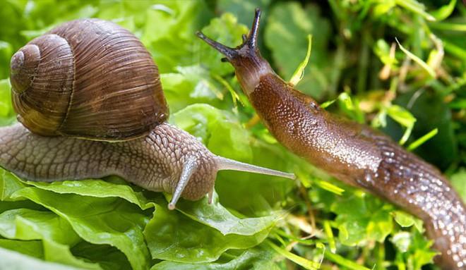 Mỹ cảnh báo ký sinh trùng chui vào não người, sau khi ăn rau sống bị ốc sên bò qua - Ảnh 3.
