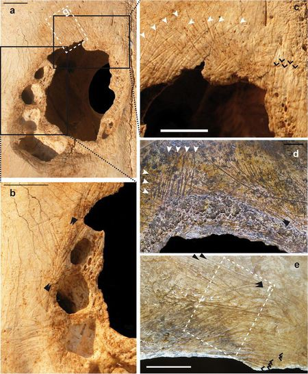 Con người đã thực hiện phẫu thuật sọ trên gia súc từ 5000 năm trước? - Ảnh 2.