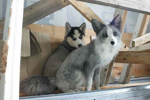 Thí nghiệm thuần hóa của Nga biến loài cáo bạc trở thành chó - Ảnh 15.