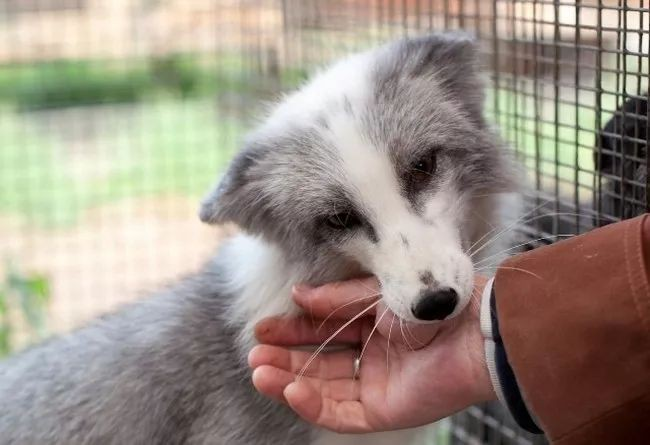Thí nghiệm thuần hóa của Nga biến loài cáo bạc trở thành chó - Ảnh 11.