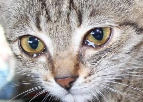 Câu hỏi loài mèo có biết khóc không đã có lời giải và bạn phải cẩn thận với điều đó - Ảnh 2.