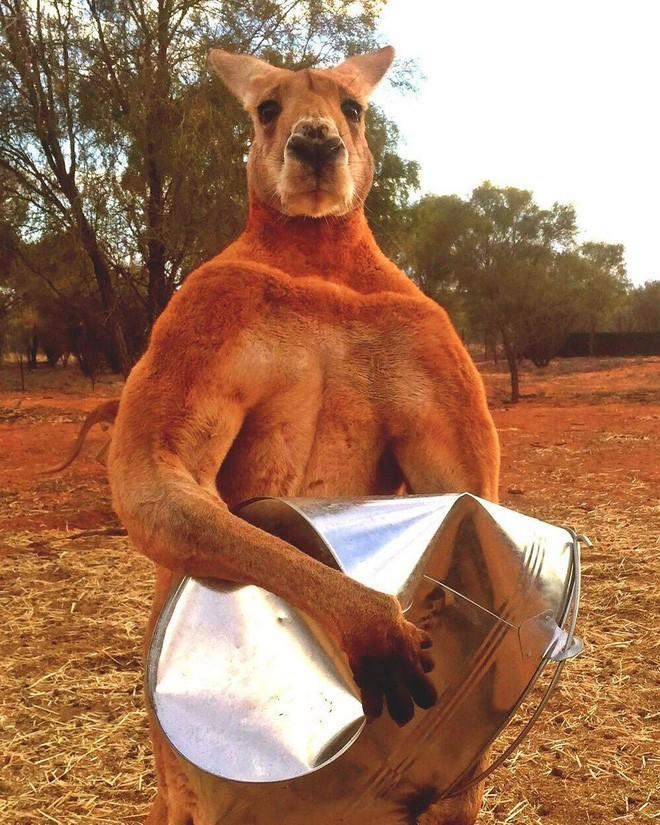 Kangaroo thời cổ đại: Cao tới 3m, nặng hơn 100kg, xương hàm cứng như thép có thể xẻ đôi thân cây lớn - Ảnh 2.