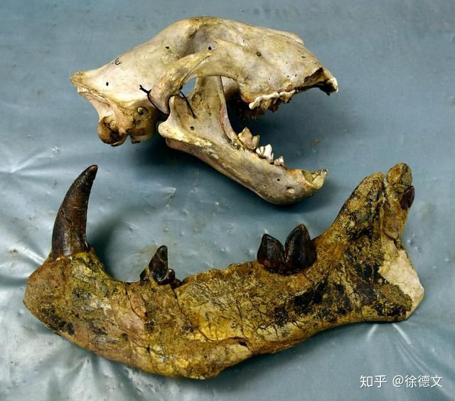 Loài động vật có vú ăn thịt lớn nhất trên đất liền, được mệnh danh là máy xay thịt di động - Ảnh 4.