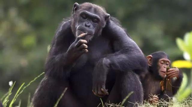 Con người đã thay đổi văn hóa của loài tinh tinh và làm cho chúng ngày càng ngu ngốc? - Ảnh 7.