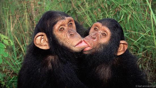Con người đã thay đổi văn hóa của loài tinh tinh và làm cho chúng ngày càng ngu ngốc? - Ảnh 1.