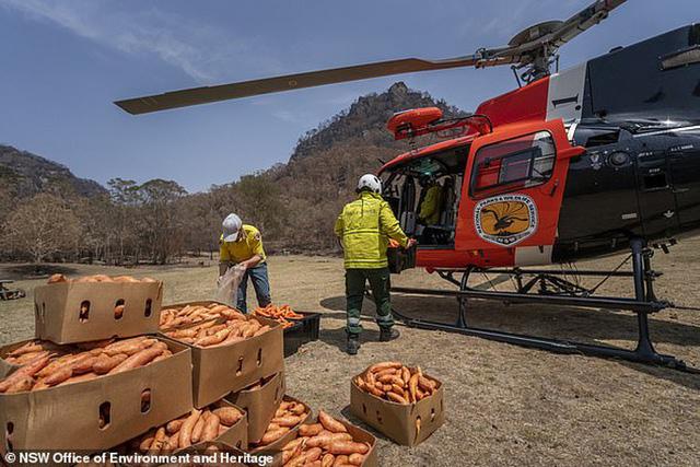 Úc: Mưa cà rốt và khoai lang cứu đói động vật bị cháy rừng - Ảnh 2.