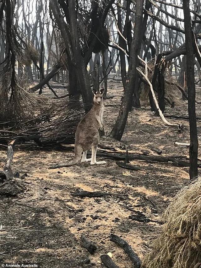 Úc: Mưa cà rốt và khoai lang cứu đói động vật bị cháy rừng - Ảnh 8.
