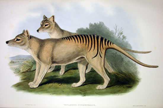Cứ ngỡ đã tuyệt chủng từ những năm 1930, nhưng có lẽ hổ Tasmania vẫn còn tồn tại đâu đó ngoài kia - Ảnh 2.