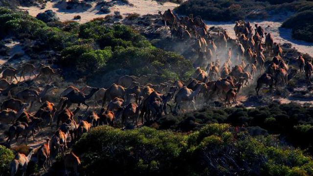 Úc giết 10.000 con lạc đà vì xâm chiếm đất đai và uống quá nhiều nước - Ảnh 2.