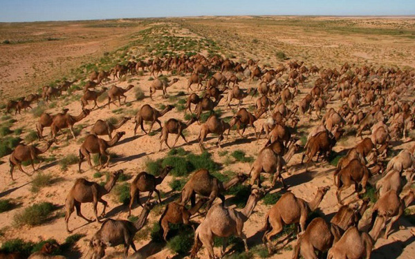 Úc giết 10.000 con lạc đà vì xâm chiếm đất đai và uống quá nhiều nước - Ảnh 1.