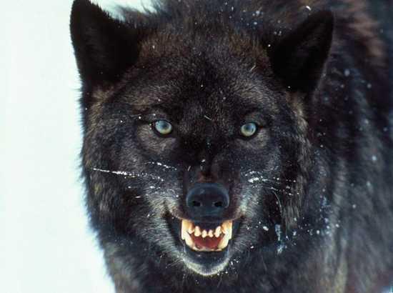 Những sự thật ít được biết đến về loài sói 1