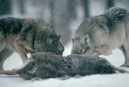 Những sự thật ít được biết đến về loài sói 10