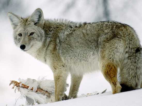 Những sự thật ít được biết đến về loài sói 2