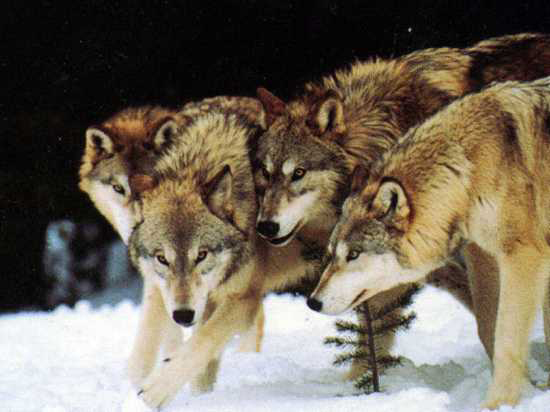 Những sự thật ít được biết đến về loài sói 3