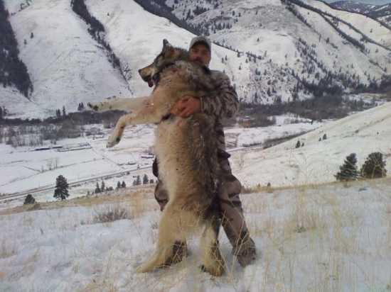 Những sự thật ít được biết đến về loài sói 4