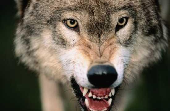 Những sự thật ít được biết đến về loài sói 5