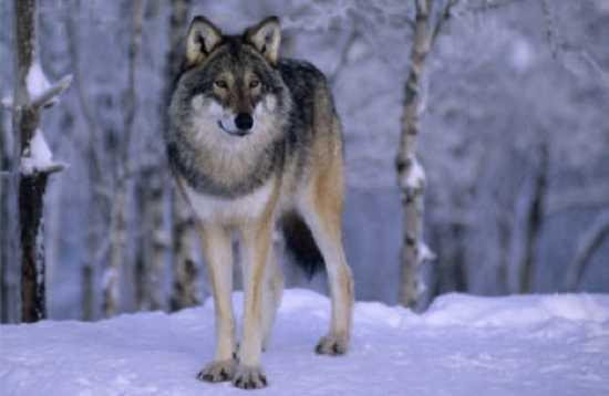 Những sự thật ít được biết đến về loài sói 6