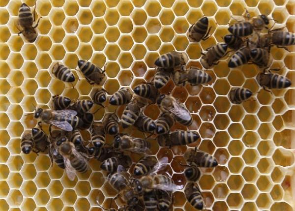 Ong đóng vai trò quan trọng trong nền nông nghiệp ở Châu Âu.