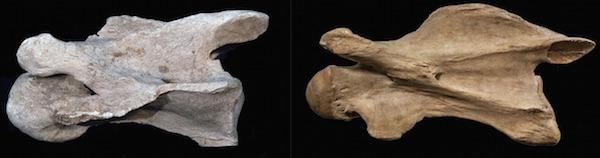 Đốt sống C3 của Samotherium và hươu cao cổ hiện đại 7 triệu năm trước.