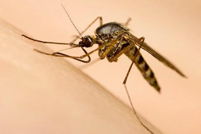 Muỗi vằn tự nhiên mang tác nhân sinh học Wolbachia nuôi thử nghiệm ở đảo Trí Nguyên. Ảnh tư liệu.