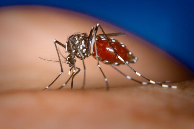 Một con muỗi vằn châu Á Aedes Albopictus.