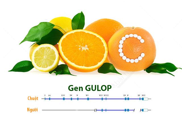 Nguyên nhân về mặt di truyền đã khiến con người không thể tự tạo ra vitamin C